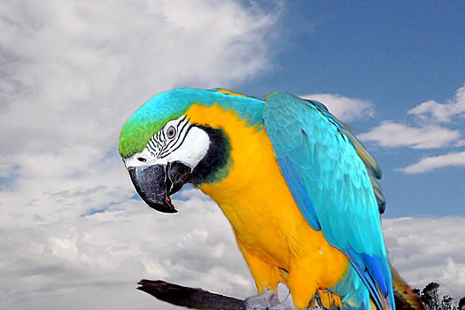David Rich - Blue and Gold Macaw