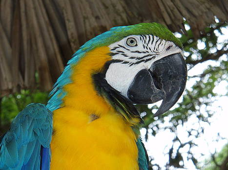 Kimberly Perry - Blue and Gold Macaw Parrot