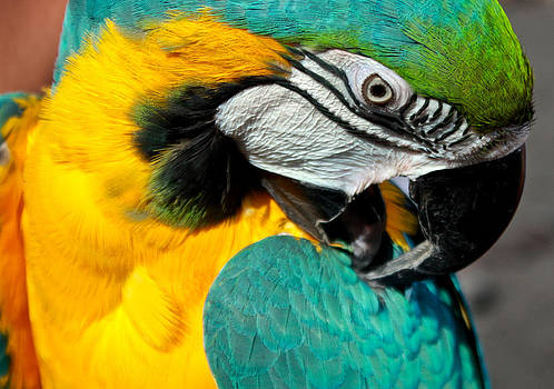 Venetia Featherstone-Witty - Blue and Yellow Macaw