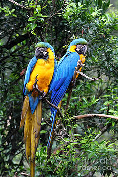 James Brunker - Blue and Yellow Macaws