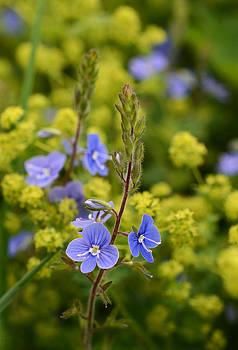 Minartesia - Blue and Yellow