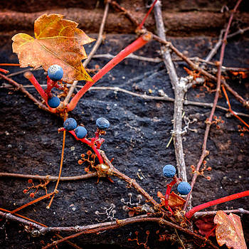 Chris Bordeleau - Blue Autumn Ivy Berries on a Stone Wall