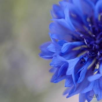 Blue Bachelor by Cindy Moleski