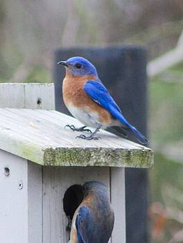 Blue Bird by Brad Fuller