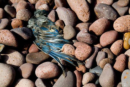 Devinder Sangha - Blue Bird