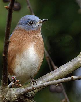 Blue Bird by Dick Wood