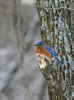 Blue bird in winter by Jill Bell