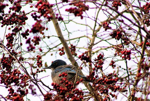 Nick Gustafson - Blue Bird Red Berries