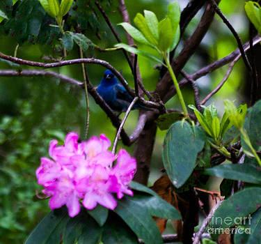 Blue Bunting by Jinx Farmer