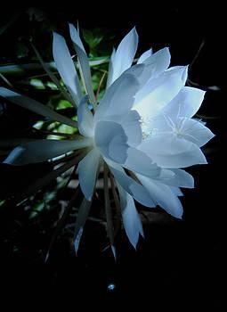 Blue Cereus by Vallee Johnson
