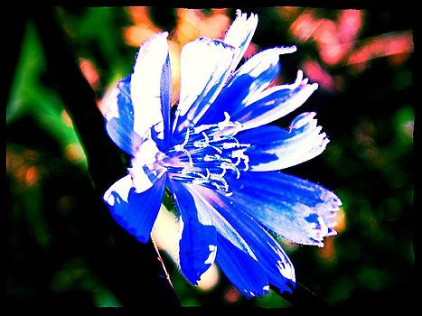 Blue Chicory Love by Allicat Photography