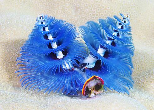 Blue Christmas by Paula Marie deBaleau