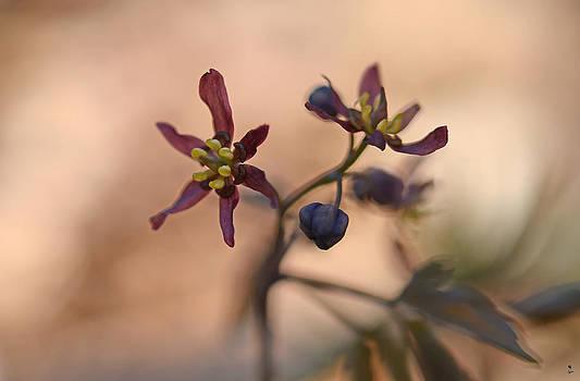 Minartesia - Blue Cohosh in Bloom