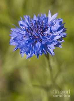 Blue Cornflower by Tony Cordoza