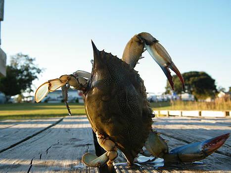 Blue crab by Matthew Kay