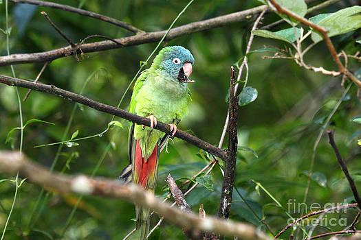 James Brunker - Blue crowned Parakeet