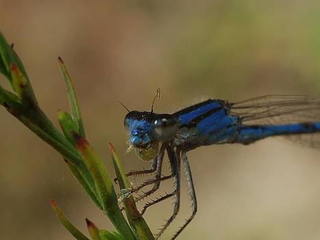 Billy  Griffis Jr - Blue Damselfly