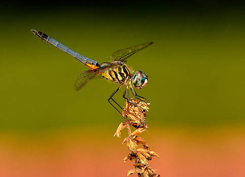 Blue Dasher Dragonfly by William Jobes