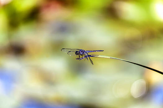 Blue Dasher On Acid by Edward Kreis