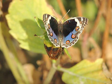 Blue designer moth by Ramesh Chand