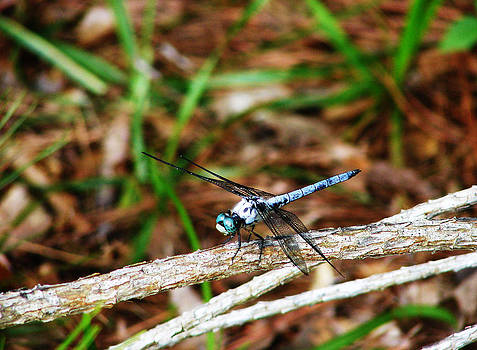 Blue Dragonfly Beauty by Ella Char