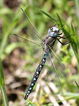 Connie Zarn - Blue Dragonfly