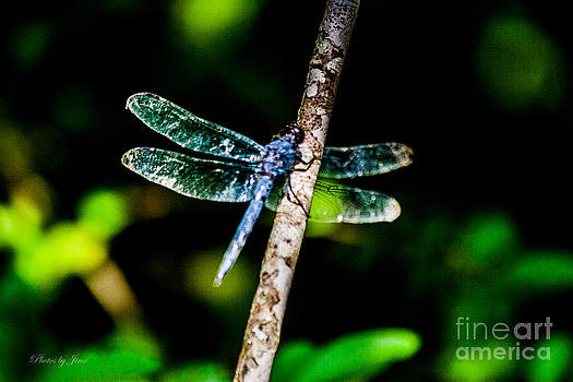 Blue Dragonfly by Jinx Farmer