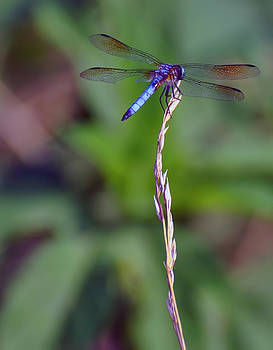 Chris Flees - blue dragonfly on a blade of grass