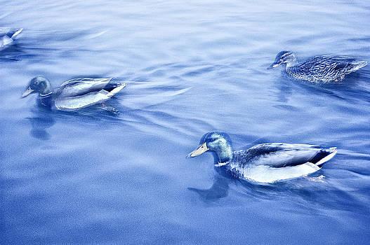 Blue Duck Stippling by Jeff  Jacobson