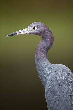 Blue Egret Portrait by Alex Galiano