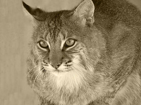 Blue Eyed Bobcat-Sepia by Jennifer  King