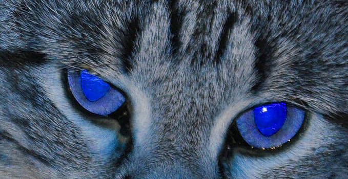 Blue Eyed Cat by Daniel Ness