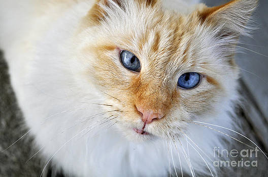 Blue Eyed Cat by Trisha Fawver