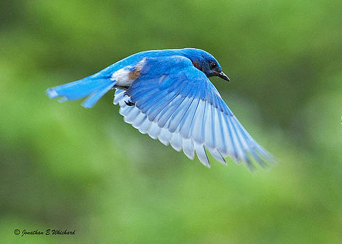 BLUE FLIGHT Sialia sialis adult male by Jonathan E Whichard