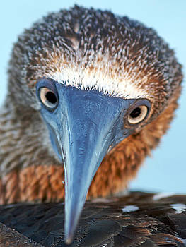 Blue footed booby by David Otter