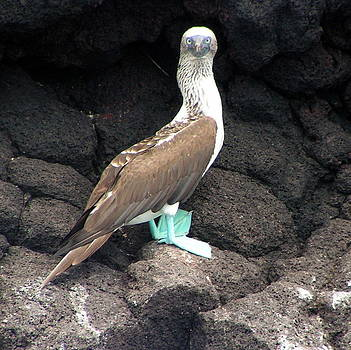 Blue Footed Booby by Martha Lyle