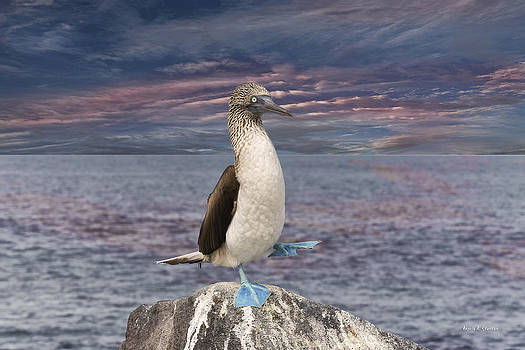 Angela A Stanton - Blue Footed Booby Mating Dance in the Galapagos