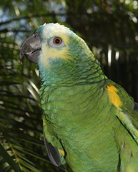 Blue Fronted Amazon Parrot 2 by Erin Tucker