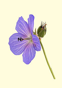 Paul Gulliver - Blue Geranium - Cream Background