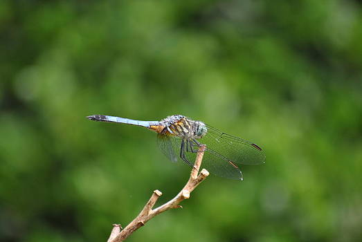 Blue/Gray Dragonfly by Janice Reed-Martin