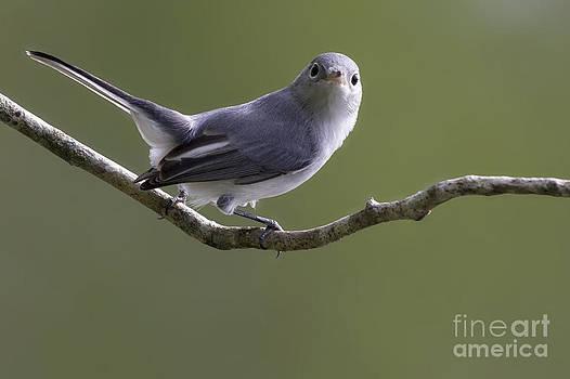 Blue-gray Gnatcatcher by Meg Rousher
