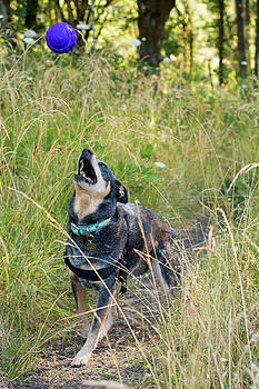 Blue Heeler Dog Playing Fetch In Tall by Joshua Rainey