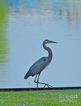 Blue Heron 2 by Jason Layden