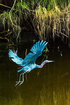 Blue Heron by Adrian Arceci