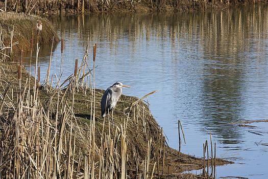 Blue Heron by Barbara  White