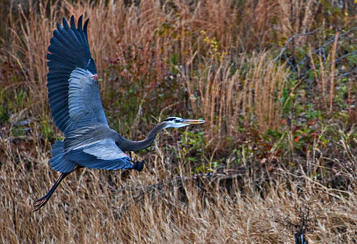 Blue Heron  by Bill Perry