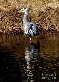 Blue Heron by Bren Thompson