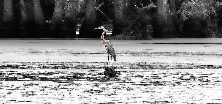 Blue Heron by Cecil Fuselier