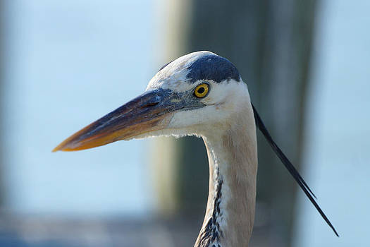 Carmen Del Valle - Blue heron Close Up 2