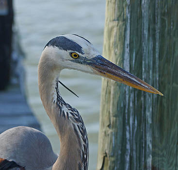 Carmen Del Valle - Blue Heron Close Up